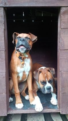 I want another boxer for my Molly! She needs another boxer to play with! Boxers, Animals Beautiful, Cute Animals, Funny Animals, Basic Dog Training, Training Tips, Boxer Puppies, Boxer Breed, Chihuahua Dogs