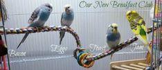 4 budgies in bright bird cage Species Of Dogs, Cat Species, Cockatiel, Budgies, Parrots, Monk Parakeet, Senegal Parrot, Parrot Perch, Fat Bird