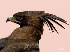 Long-crested eagle (Lophaetus occipitalis)