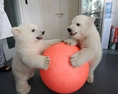 polar bear with cubs | Adorable Polar Bear Cubs Playing Ball