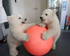 polar bear with cubs | Adorable Polar Bear Cubs Playing Ball