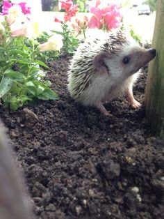 I really want a pet hedgehog. Must wait at least a year. So I am starting a hedgehog collection instead. :)