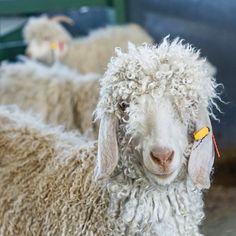 Mohair shearing, Beautiful Angora goats in the karoo