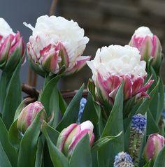 Tulip 'Ice Cream' ~ http://www.flickr.com/photos/22925462@N04/5741958517/in/photostream/