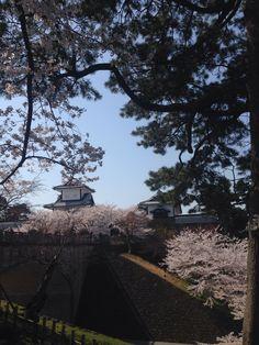 Kanazawa Castle with cherry blossoms