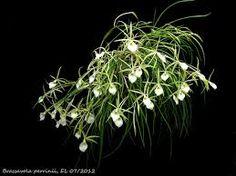 Brassavola Perrini