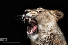 lion by knipser62. Please Like http://fb.me/go4photos and Follow @go4fotos Thank You. :-)
