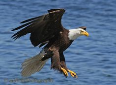Eagle Coming In