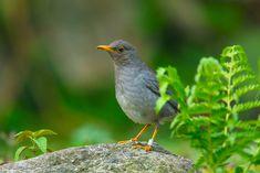 Banded Tickell's Thrush, Uttarakhand Hummingbirds, Mobile Wallpaper, Conservation, Band, Animals, Image, Animales, Animaux, Wallpaper For Mobile