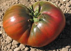 2013 Crop  Black - Heirloom Tomato Seeds This is a beautiful, dark mahogany-brown Russian heirloom tomato. Our Tomatofest seeds produce large, bushy plants that yield abundant crops of large tomatoes with green shoulders that average 1 pound. This is one of the best tasting black tomatoes with sweet balanced and complex flavors.