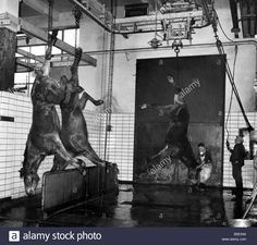 Download this stock image: These pictures were taken inside the Antwerp Belgium Slaughter House yesterday;Horses being hung up after they have been killed. ;January 1960 - B5E3A5 from Alamy's library of millions of high resolution stock photos, illustrations and vectors.