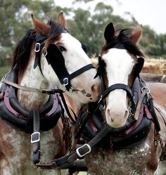 Clydesdale team Google Image Result for http://ih3.redbubble.net/image.7317391.9385/flat,550x550,075,f.jpg