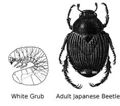 Control of Japanese Beetle Adults and Grubs in Home Lawns