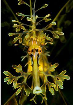 Leafy Sea Dragon portrait by Shannon Conway, WA