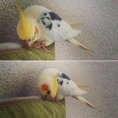"-""Goood morning! Hey hey!! Get up or I will eat your pillow!"" Haha Momo likes to wake me up in such way....And I didn't sleep well because of toothaches(after dental surgery)...again. -""Дооооброе утро!Эйэй!Вставай или я съем твою подушку!"" Хаха Момо любит будить меня таким образом. А я.. снова плохо спала из-за зубных болей(после стоматологической операции). #ckocatiel #ckocatielmorning #mysweetckocatiel #parrot #goodmorning #haha #Momo #pillow #wakeup #badmood #didntsleepwell #toothache…"