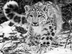 I got You're a Snow Leopard!! What Type Of Feline Are You?