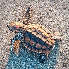 Little Loggerhead Sea Turtle