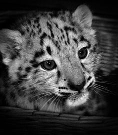 The snow leopard, recognized for its stunning, thick hair, has a white, yellow-colored or soft grey layer with ringed places of black on brownish. The markings assist camouflage it from victim...