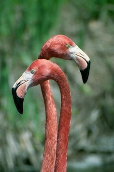 Amazing wildlife -  Coral Flamingos photo #flamingos