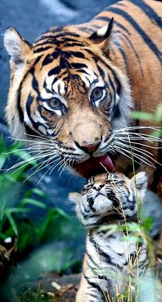 Tiger Mother and Cub. i cant get over how adorable this is. the relationship between a mother and her child