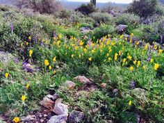 What: Mexican Gold Poppies Where: White Tank Mountain Regional Park When: February 23, 2017 Photo by: Tanni Young Wells