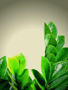 Plants That Grow Really Well in Darker Bedrooms, Zamioculcas zamiifolia