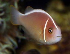 Amphiprioninae es una subfamilia de peces marinos de la familia Pomacentridae, que contiene los géneros Amphiprion y Premnas, cuyos componentes son conocidos como peces payaso o peces anémona.  El pez payaso se caracteriza por sus contrastados e intensos colores, rojo, rosa, negro, amarillo, naranja o blanco. Procede de los arrecifes de coral del Indo-Pacífico, y vive conjuntamente con las anémonas, teóricamente especies depredadoras, de las que obtiene una protección frente a posibles…