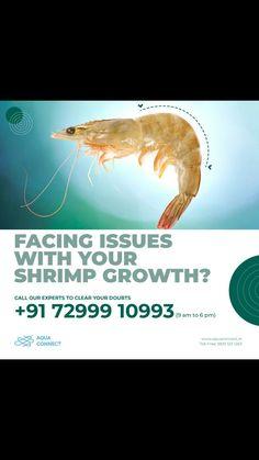 Talk to our experts on 72999 10993 & get all your doubts on shrimp farming clarified. The help-line will be available from 9.00 am to 6.00 pm, Monday to Saturday.  हमारे विशेषज्ञों से बात करें 72999 10993 और झींगा पालन पर अपने सभी संदेह स्पष्ट करें। हेल्प-लाइन सुबह 9 बजे से शाम 6 बजे तक, सोमवार से शनिवार तक उपलब्ध रहेगी  72999 10993 లో మా నిపుణులతో మాట్లాడండి మరియు రొయ్యల పెంపకంపై మీ సందేహాలన్నింటినీ స్పష్టం చేయండి. సోమవారం నుండి శనివారం వరకు Sustainable Farming, Farmer, The Help, Aqua, Farmers, Water