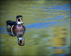 Wood Duck Reflections By LeeAnn McLaneGoetz McLaneGoetzStudioLLC.com  Did you know that wood ducks are unique amoung the duck species in that they are equipped with strong claws that can grip bark and perch on branches. Detroit Zoo