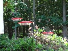 Hummingbird Swarm video, recipe for feeders and good tips for cleaning and keeping bees ants and yes even bats away.