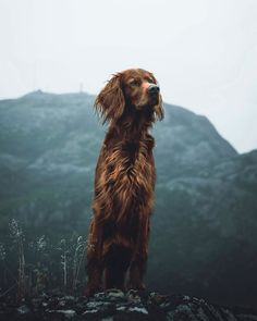 Most of us will agree - dogs are awesome. And that's exactly what Troja, an Irish Setter with a passion for treats and adventures, is. Dog Photos, Dog Pictures, Pointer Dog, Pointer Puppies, Baby Dogs, Dogs And Puppies, Dog Gadgets, Dog Spay, Best Dogs For Families