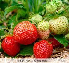 erdbeeren d ngen die h ufigsten fehler pinterest erdbeeren pflege und t pfchen. Black Bedroom Furniture Sets. Home Design Ideas