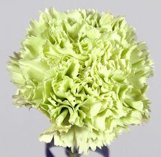 kukkainfo.fi -> horoskooppikukka -> neilikka=vesimies Green Carnation, Prado, Carnations, Bouquets, Flora, Vegetables, Beauty, Bouquet, Bouquet Of Flowers