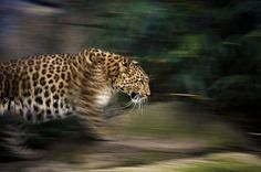 CloseUp do Mundo Animal ( 40 Imagens ) Slow Shutter Speed Photography, Action Photography, Wildlife Photography, Big Cats, Cool Cats, Animal Close Up, Famous Art, Mundo Animal