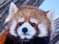 キン  Red pandas レッサーパンダ 小熊猫