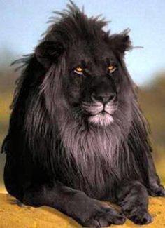 ブラックライオン|?動物生命アニマルライフ -