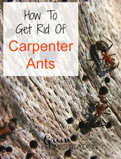 1000 images about thing you need to know on pinterest ants homemade ant killer and ant. Black Bedroom Furniture Sets. Home Design Ideas