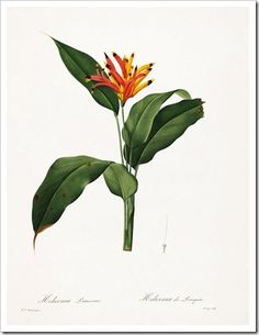 redoute_Heliconia psittacorum