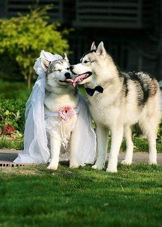 Funny Wedding Photos of Huskies Kingsir ♡ Nikita (-ˆ⌣ˆ(-ˆ⌣ˆ-)