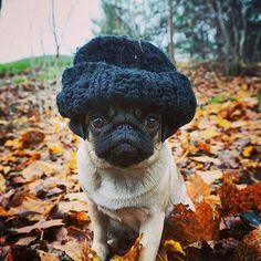 Big brains require big caps Reposted from @notjustanotherpug #pugs #pugsofinstagram #pugstagram #pugsproud #whitepug Tag your friends by pugsproud