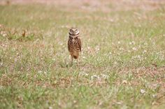 Burrowing owl at Robbins Lodge Park ~ Timeless Elegance by Desiree photography