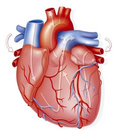 ¿Sabes cuántas veces late tu corazón en un día? Did you know that the heart pumps between 4 and 6 liters per minute at rest ?: The heart is the most perfect machine in the human body. Tricuspid Valve, Heart Pump, Ecg, In A Heartbeat, Did You Know, Your Heart, Human Body, Outdoor Decor, Kids