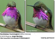 The Bumblebee Hummingbirds (Atthis heloisa) - also known as Heloise's or Morcoms Hummingbirds - occur naturally in Mexico and southern United States.