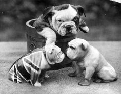 A bulldog puppy in a wooden tub watching 2 china bulldogs. C. 1930. Pinned by Judi Crowe.