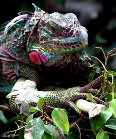 The rare and elusive Rainbow Lizard ~ Good Grief! Never seen such - pretty in a creepy sort of way~ (No, its a photo shopped iguana! Les Reptiles, Reptiles And Amphibians, Mammals, Unusual Animals, Rare Animals, Animals And Pets, Beautiful Creatures, Animals Beautiful, Regard Animal
