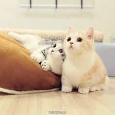 """(Two cats are watching Tom and Jerry.) Black-white cat asks another: """"Is there Jerry at our house? Cute Cats And Kittens, I Love Cats, Crazy Cats, Kittens Cutest, Kitty Cats, Animals And Pets, Baby Animals, Funny Animals, Cute Animals"""