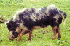 """Photo from """"Rare Breeds of Heritage Livestock in New Zealand"""" (2008)"""