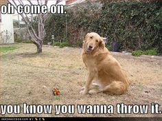 funny pictures of golden retrievers - Google Search