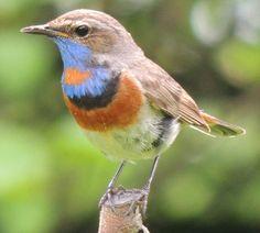 Hören Sie die Blaukehlchen auf deutsche-vogelstimmen.de, welches eine umfassende Sammlung an deutschen Vogelstimmen ist. Funktioniert auch auf Ihrem Handy!