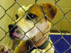 Rel/euth 2/7  Cleveland County Animal Control is a high kill open intake county run facility.    All 501c3 Rescues interested in pulling from CCAC need to send copy of 501c3, vet refs, directors name and contact number, website, etc to pointerpal@aol.com Rescues may call Garrett Bender at 704 476 6765 Adopters need to call CCAC at 704 481 9884 Ext. 4 Cleveland County Animal Control is located at 1609 Airport Road in Shelby North Carolina